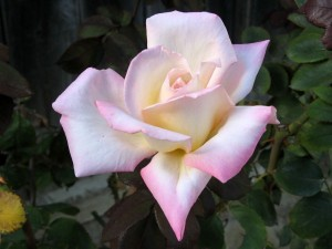 gardening tips that show you how to grow roses that you will be proud of