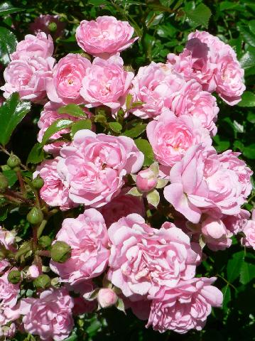how to prune different types of roses