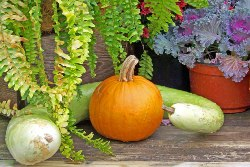 learn how to grow pumpkins with our easy to follow vegetable garden tips