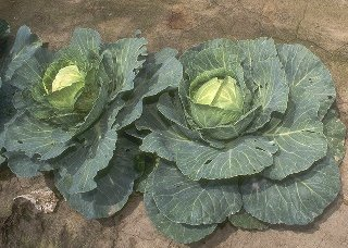growing cabbage is made easy with our vegetable gardening tips