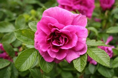 how to plant roses, how to prune roses and rose bush care maintenance