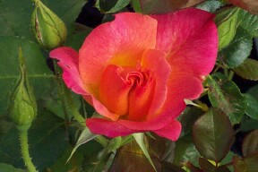 Josephs Coat rose is a multicolour climbing rose that blooms until frost