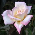 how to grow roses in containers as well as growing roses from seed and cuttings