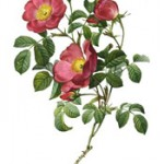 gardening tips and advice on growing different types of roses