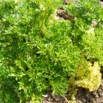 how to grow parsley and other herb garden plants