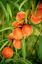 easy gardening tips on growing fruit and gardening flowers plants trees
