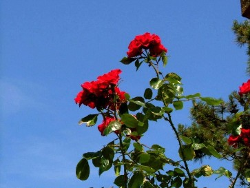 how to plant and grow roses including rose bush care maintenance