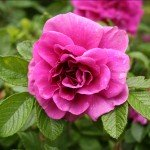 how to prune roses as part of rose bush care and maintenance