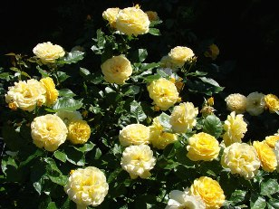 tips for starting a garden and growing many different types of roses