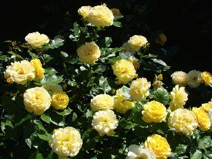 all you need to know about how to grow roses if you are thinking of starting a rose garden